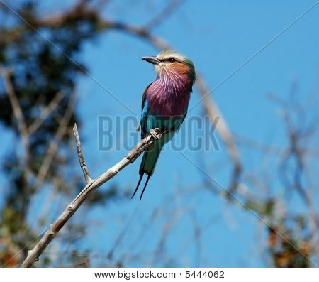 Lilacbreasted Roller