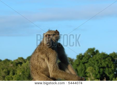 Africa Wildlife: Baboon