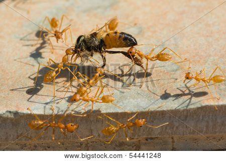 Weaver Ants Hauling Honey Bee Home