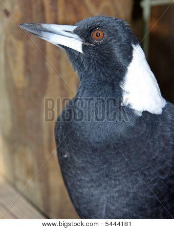 Mr.Magpie