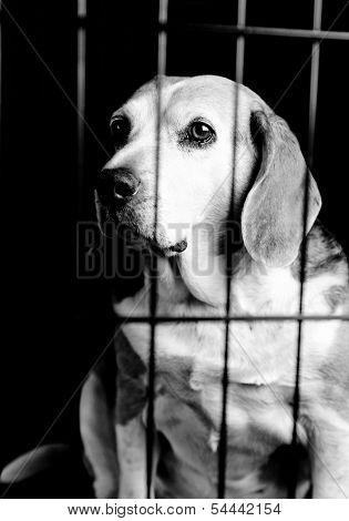 Beagle Behind Bars