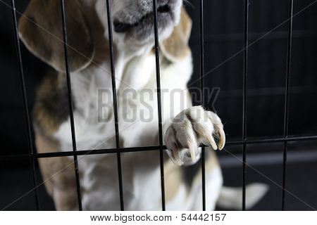 Beagle Pawing Cage