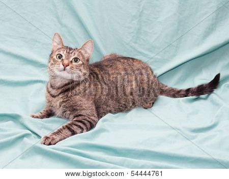 Tricolor Striped Cat Lying Looking Up