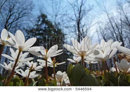 Bloodroot Sanguinaria Canadensis Reaching For The Sun