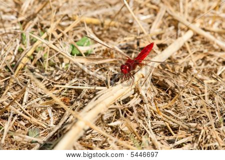 Dark Red Dragonfly