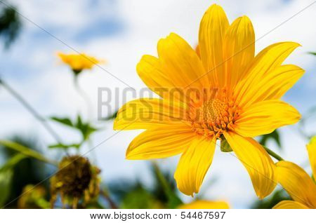 Mexican sunflower weed and blue sky background.