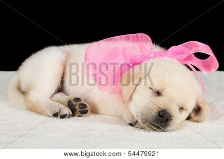 Labrador Puppy Sleeping On Blanket With Pink Ribbon