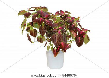 Coleus. Houseplant in a pot