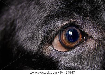 Labrador Retriever Eye