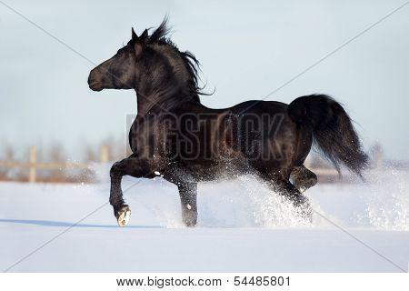 Black horse runs gallop in winter.