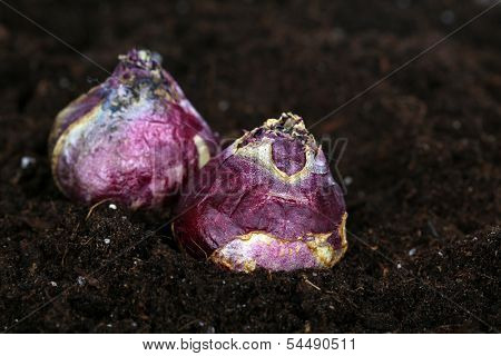 Flower bulbs on humus background