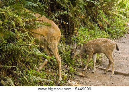 Blacktail Deer Fawn