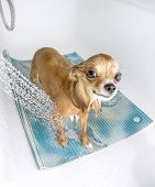 picture of chiwawa  - chihuahua dog getting pleasure from shower in bath - JPG