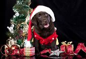 image of christmas puppy  - Merry Christmas  - JPG