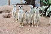 picture of meerkats  - Meerkat with a curved claw used for digging - JPG