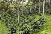 stock photo of coffee crop  - Coffee bushes in a shade - JPG