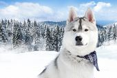 pic of siberian husky  - close - JPG