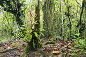 picture of bromeliad  - Interior of cloudforest on the Pacific slopes of the Andes in Ecuador with a flowering bromeliad - JPG