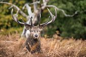 image of cervus elaphus  - Red deer stag during rutting season in Autumn - JPG