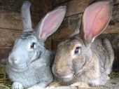 pic of rabbit hutch  - grey and brown rabbits sitting in the hutch - JPG