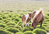 stock photo of colt  - Icelandic horse with her colt - JPG