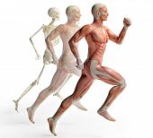 stock photo of male body anatomy  - isolated male anatomy and skeleton in motion - JPG