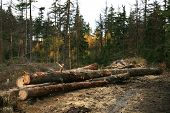 stock photo of cutting trees  - Freshly cut tree logs piled up - JPG