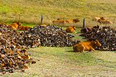 picture of afforestation  - Cows Lying Near the Firewood on the Pasture - JPG