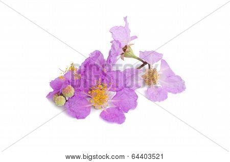 Cananga Odorata Isolated On White Background
