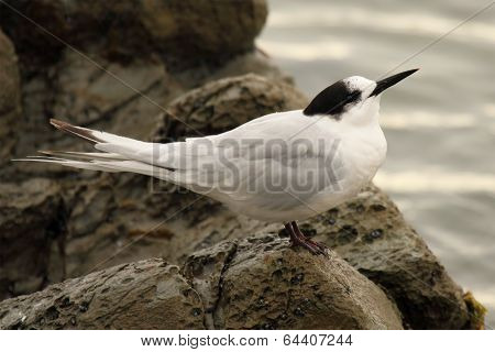 Tern Pointing With Beak