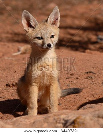 Kit Fox Puppy