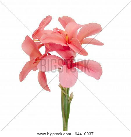 Pink Yellow Canna Flowers Isolated On White Background