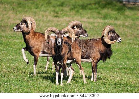 Herd Of Mouflons (ovis Musimon)