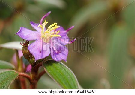 Malabar Melastome (indian Rhododendron)