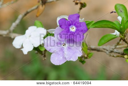 Brunfelsia Australis (yesterday Today And Tomorrow Flower)