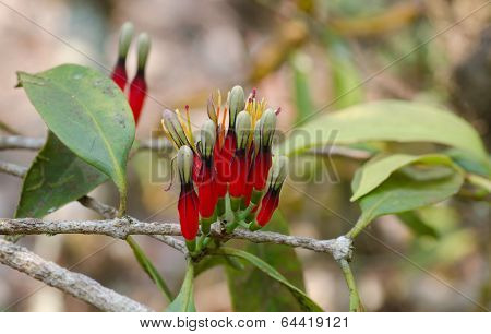Loranthaceae Flower In  Phu Luang Wildlife Sanctuary, Thailand