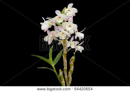 Nobile Orchid Isolated On Black Background