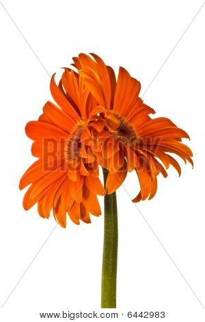 Two Accrete Flowers, Gerbera