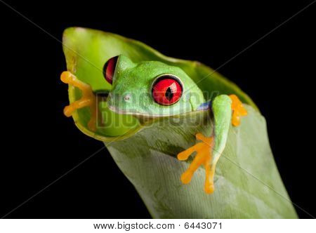 Red Eyed Frog In Banana Leaf