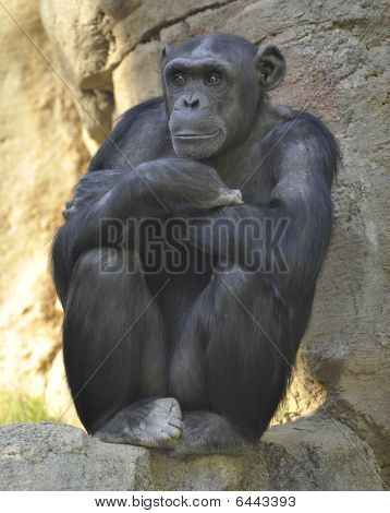 african chimpanzee male adult sitting pondering life