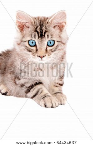 Beautiful Tabby Kitten With Blue Eues