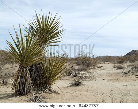 Family of Yucca Plants