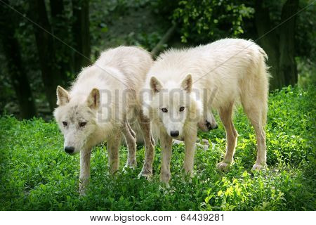 Two white wolfs