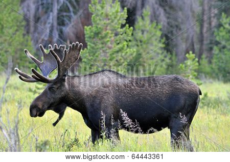 Large Moose
