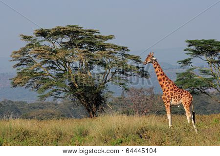 Rare Rothschilds giraffe (Giraffa camelopardalis rothschildi), Lake Nakuru National Park, Kenya