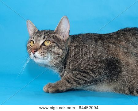 Tabby Cat With Yellow Eyes Sneaks Up On A Blue
