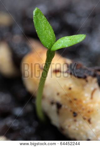 Young green sprouts on black organic soil close-up