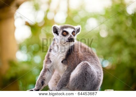 Lemur (Lemur catta) looks out with orange eyes