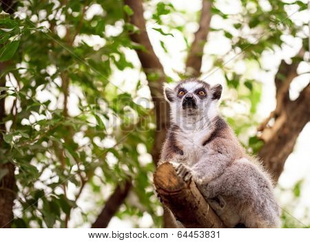Ring tailed lemur perched on top of a tree/Ring Tailed Lemur