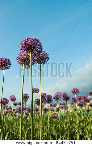 Allium Flowers Reaching into Blue Sky